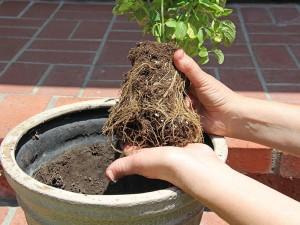 transplantar planta